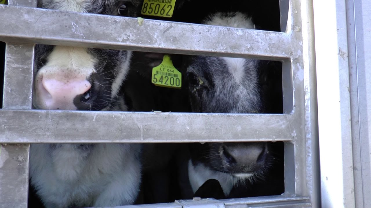 Our investigations into live animal transport | Compassion