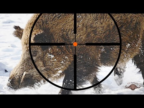 Hunting Wild Boar Poland 2017