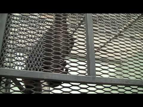 Chimpanzees Of Alamogordo
