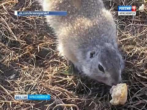 В Красноярске на острове Татышев проснулись суслики