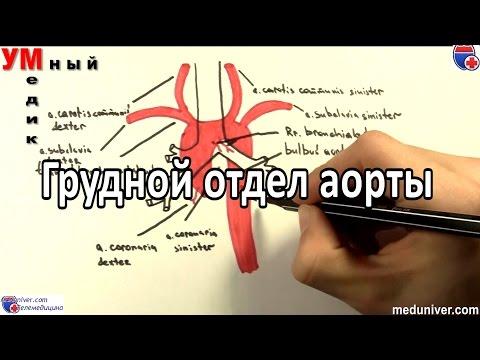 Анатомия и ветви грудного отдела аорты - Meduniver.com
