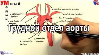 Анатомия и ветви грудного отдела аорты