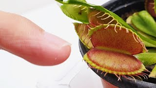 The Dionaea bit my finger (Growing Venus Flytrap)