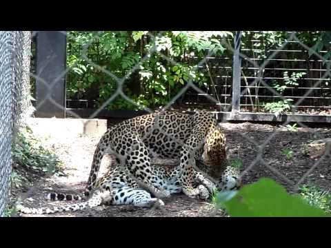 """Maryland Zoo in Baltimore: African Leopards """"Playing"""""""