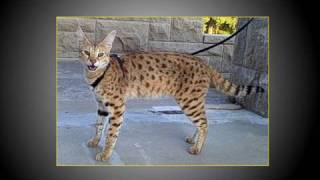 The World's Tallest Pet Cat - Walking MAGIC an F1 Savannah cat Thumbnail