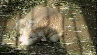 Cute Lambs. 10 days old.生後10日のかわいい子羊。 Chiba Zoo.千葉市動...
