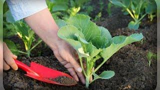 Кольраби, почему и как ее  нужно выращивать