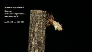 アブラゼミの羽化です。 1分間の動画でまとめてみました!! Large Brown ...