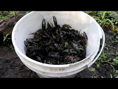 MUDBUGGIN 2019. My Best 2 Day Catch Ever. Trapping Crayfish/Crawfish.