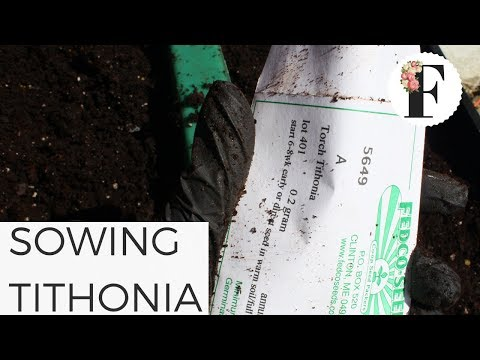 Sowing Tithonia Seeds in Unheated Greenhouse Growing Flowers from Seed Cut Flower Garden