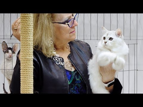 CFA International Cat Show 2018 - Shorthair kitten class judging - 2