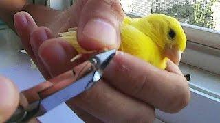 как обрезать когти канарейке(Канарейке регулярно необходимо обрезать когти. В этом видео, я решил показать, как стричь когти канарейке..., 2014-09-01T18:55:27.000Z)