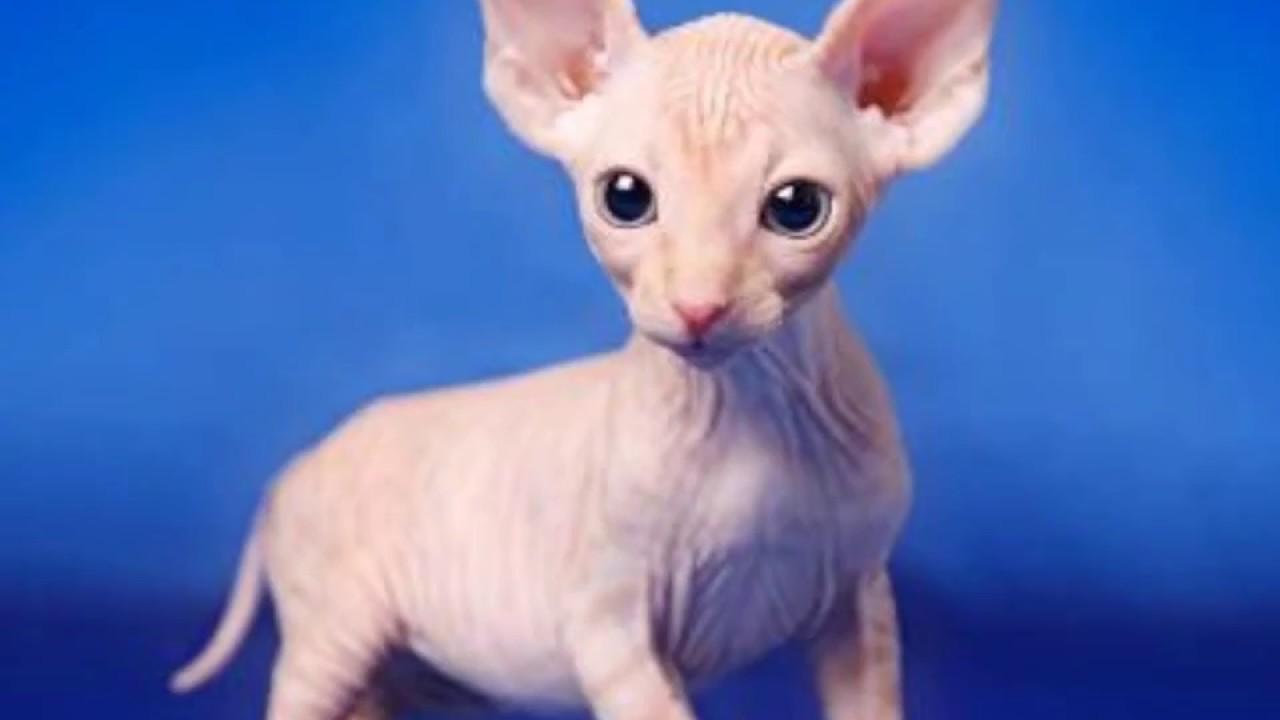 chat pas de poil