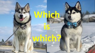 10 differences between Pomskies and Klee Kais  (Should you get a Pomsky or an AKK?)