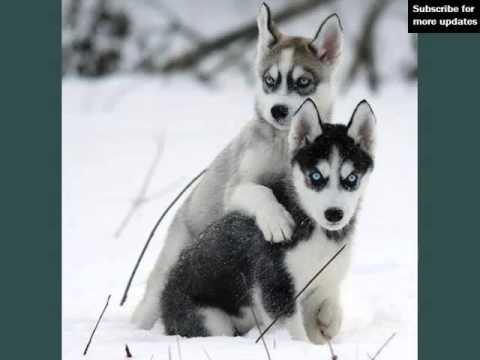 Types Of Husky Dogs | Dogs & Dog Breed Picture Ideas Collection