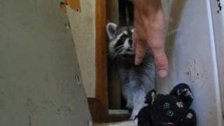 Raccoon loves to play!