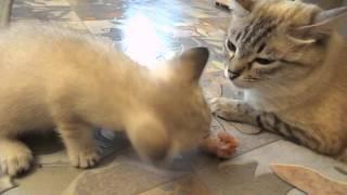 Котёнок грызёт куриную шейку..))))