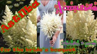 Невеста Астильба в июне цветёт
