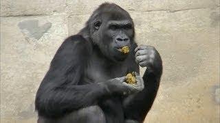 栄養が残ってるんでしょうか・・・。ゴリラは自分の排泄物を食べるよう...