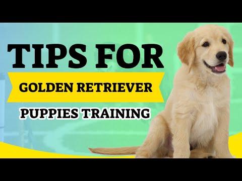 golden-retriever-puppies-training