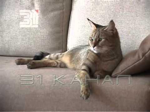 Породы кошек чаузи. Фото,видео. Характер,уход,стандарты породы, размер. Так же рекомендуют купить шлейку, и раз в неделю выходить с кошкой.