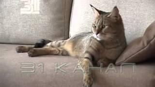 чаузи от камышового кота Питомник Анакторон Светланы Нехороших