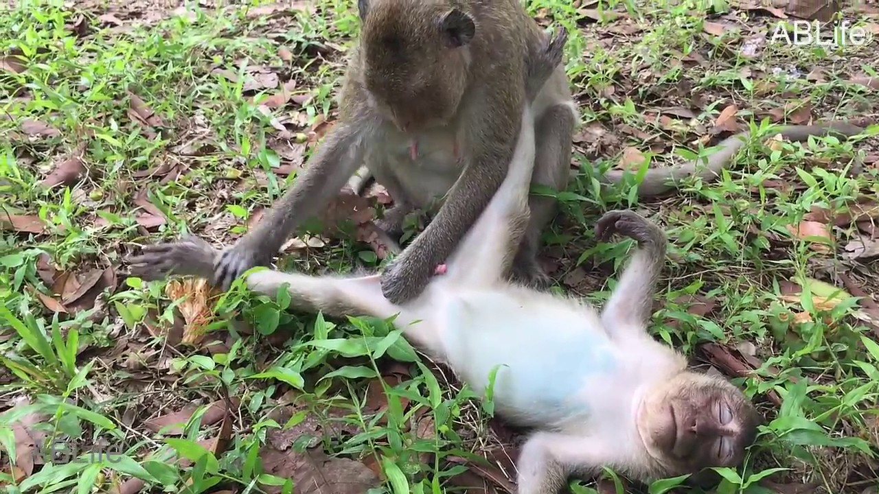 do monkeys have dicks