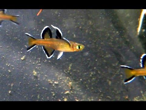 Australian Native Fish - Honey Blue Eyes - Pseudomugil Mellis