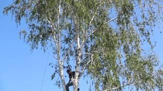 Семья Бровченко. Спил дерева по частям возле проводов, над забором (~20м. высота).(, 2014-06-01T09:30:29.000Z)