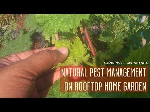 Natural Pest Management On Roof Top Home Garden