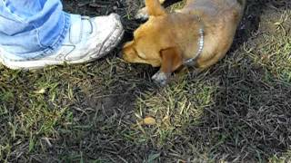 Three Legged Dog Digging For Gopher