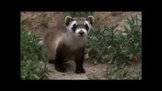 4 Black-Footed Ferret