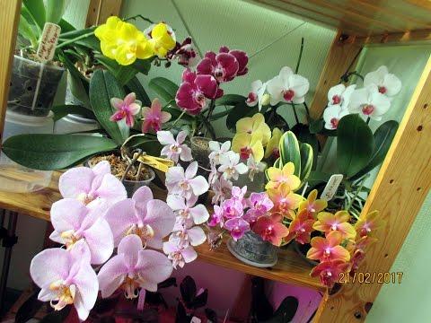 Орхидея фаленопсис: уход в домашних условиях, пересадка и