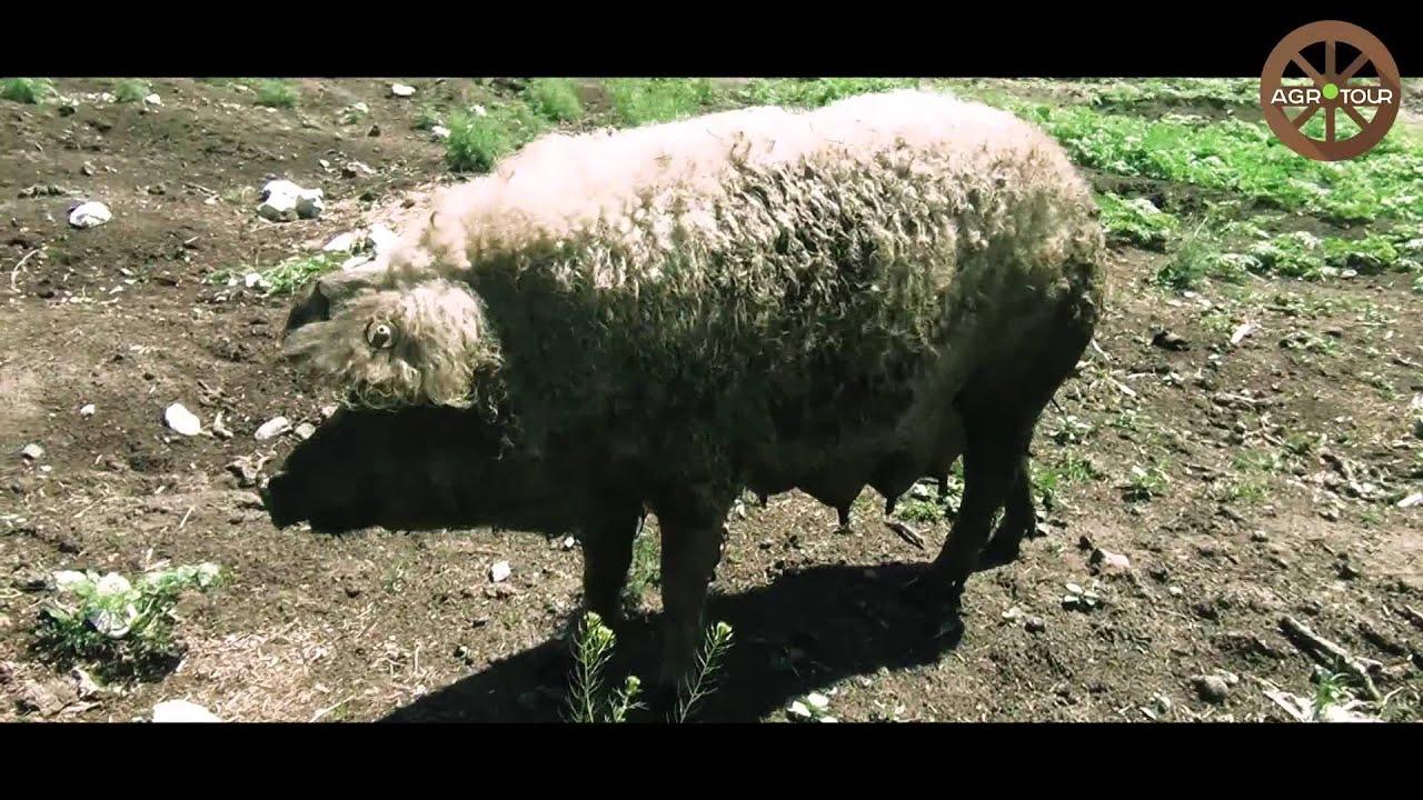 """Презентация фермерского хозяйства """"Мангалица Украина"""" на фермерском кинопоказе"""