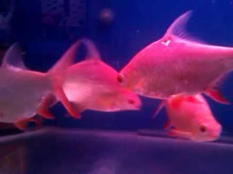 Tin foil fish youtube for Tin foil fish