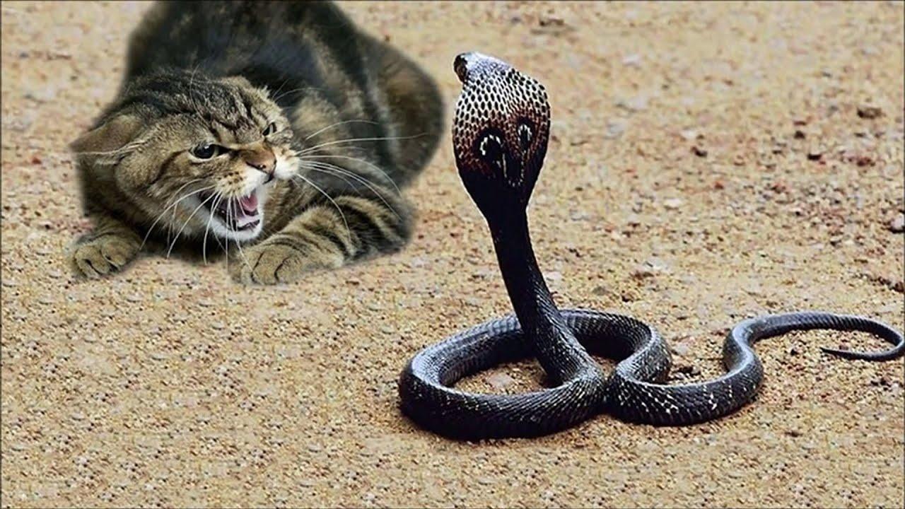 बिल्ली का हमला इतना खतरनाक क्यों होता है । Cats vs Cobra Snake fight