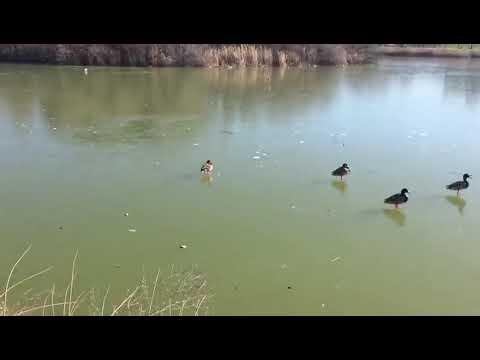 Los patos hacen patinaje sobre el lago helado de Laguna de Duero en Valladolid
