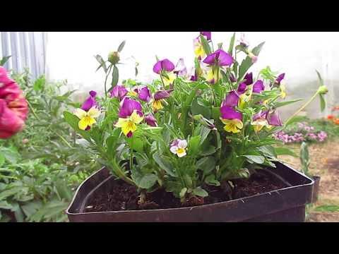 Вопрос: Как продлить срок жизни и добиться обильного цветения у примул?