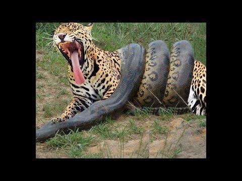 04 briga de animais que você nunca viu. Anaconda vs Leopardo Tigre Puma e Onça