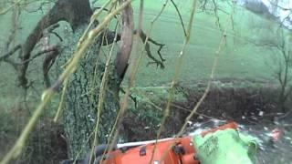 pollarding willow tree