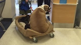 Massive dog gets his own seat in first class