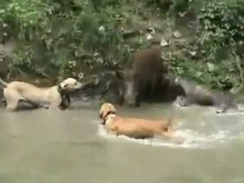 dogs attacking a wild boar.