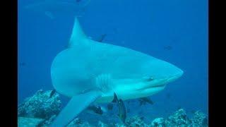 Beqa Lagoon, Fiji - Shark dive