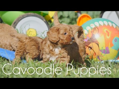 Cavoodle puppies on a breezy day