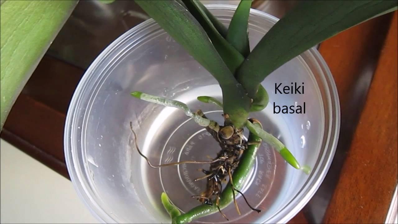 cultivo de orquídeas na agua