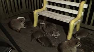 Raccoon Babies Have Finally Arrived