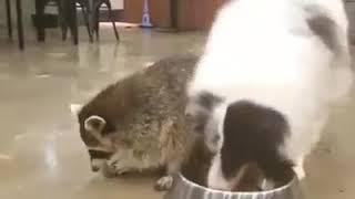 Енот ворует корм у собаки