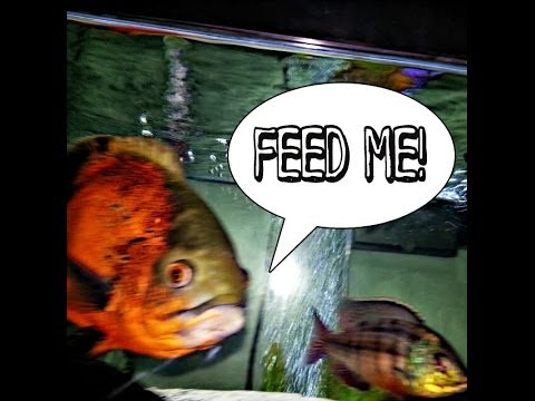 Huge oscar fish jumps out of water for food youtube for Oscar fish food