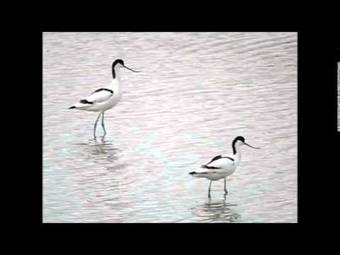 Avocets at Two Tree Island - Essex.