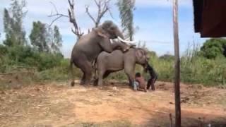 Repeat youtube video De echte paring van de olifanten